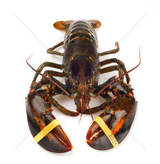 Living lobster isolated on white background
