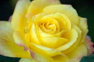Gelbe Rose  Henrietta