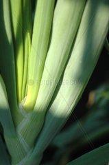 Winterzwiebel  Allium fistulosum
