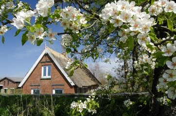 Thatched Roof House at Elbe Dike  Spadenland  Hamburg  Germany