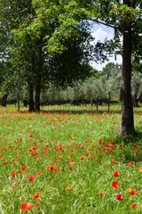 Beautiful Red poppies on green field
