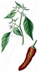 Spanischer Pfeffer Paprika Capsicum annuum longum