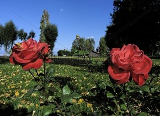 Red Roses in a Park