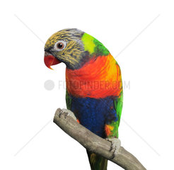 Lorikeet (Trichoglossus haematodus)  isolated over white background