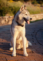 Husky dog at sunset  Capri island  Italy