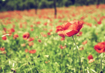 Beautiful vintage red poppies on green field