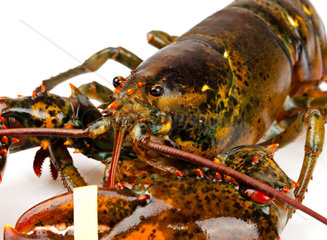 Macro of living lobster isolated on white background