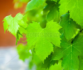 Closeup of a vine leaves