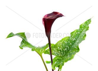 Dark purple  black calla lily plant isolated on white background