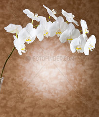 White orchid flowers on beige background