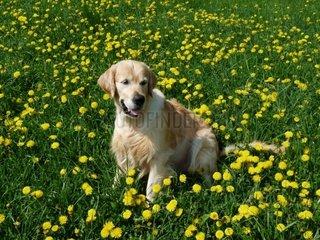 Golden Retriever auf einer Loewenzahnwiese