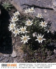Alpen Edelweiss  Leontopodium alpinum
