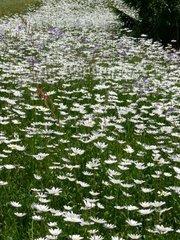 Margeriten  Leucanthemum