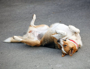 Mongrel dog lying on the asphalt after being hit by a car