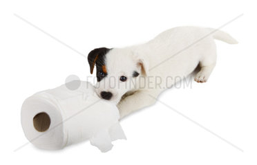 Jack Russell puppy caught playing in toilet paper