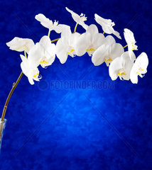 White orchid flowers on blue background
