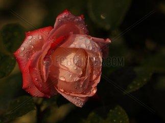 Rose des Jahres 2009