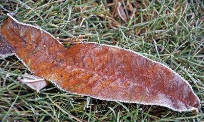 Das Frost Blatt