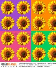 Sunflower pattern  colorful  background  poster  pattern