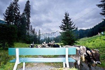 Sitzbank mit Kuehen beim Almabtrieb in den Bergen