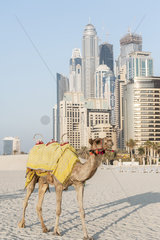 Camel on beach  Dubai  United Arab Emirates