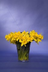 daffodils in a glass vase against blue background