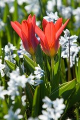 red tulip and white hyacinth