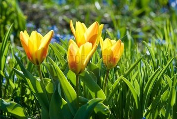 four yellow tulips in the park