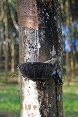 Gewinnung von Kautschuk  Kautschukbaum Plantage  Thailand  Asien