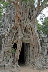Wuergefeige  Kambodscha