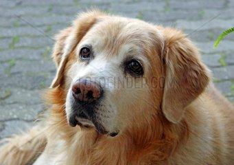 Hundeportrait Golden Retriever