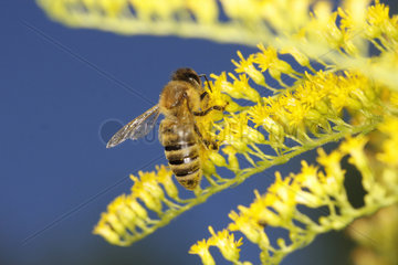 Bienenarbeiterin beim Nektarsammeln auf einen Bluetenstand der Goldraute