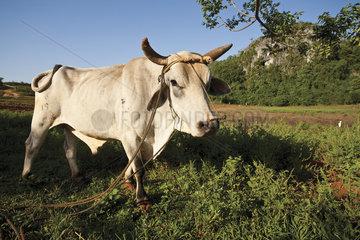 Ox in field