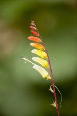 Firecracker vine (Ipomoea lobata)