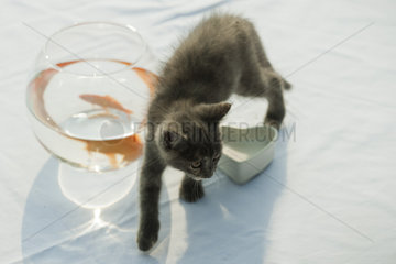 Kitten walking near goldfish bowl