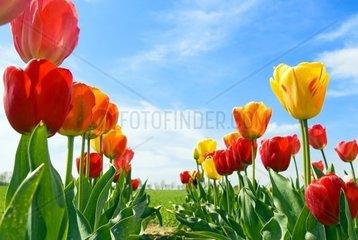 2 Reihen Tulpen vor blauem Himmel
