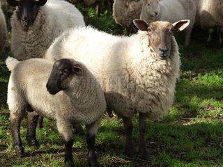 Suffolk Schafe auf einer Weide