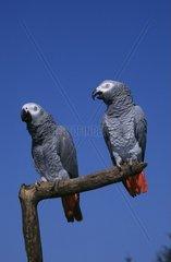 Grey Parrots  pair
