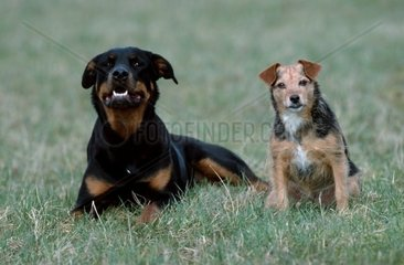 Rottweiler and Mixed Breed Dog