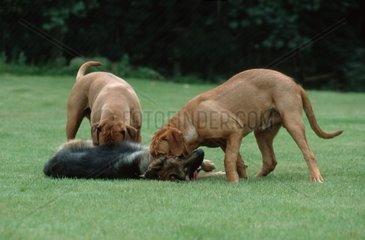 Bordeauxdoggen und Deutscher Schaeferhund spielen miteinander