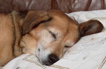 Mixed Breed Dog  sleeping