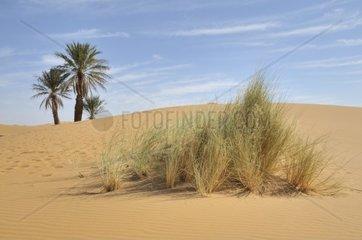 Palmen in den Sandduenen  Erg Chebbi  Marokko  Afrika