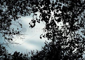 Aeste Linde Herbst Gegenlicht