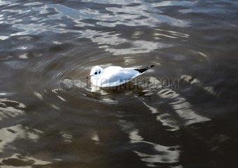 Moewe schwimmt