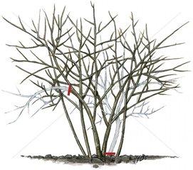 Weigelie Weigelia - Hybriden