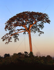 Baum auf Costa Rica