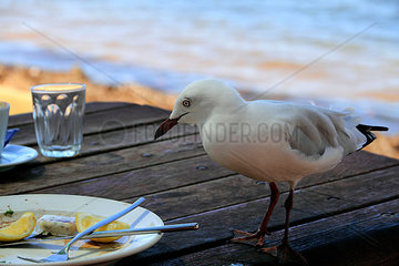 Seagull on table with food scraps