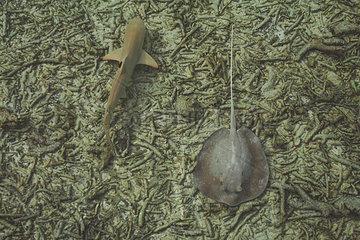 Stachelrochen und Schwarzspitzen-Riffhai