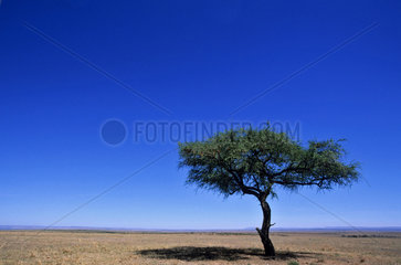 KENYA - AN ACACIA TREE IN THE MASAI MARA NATIONAL PARK