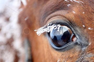 Graditz  Deutschland  Auge eines Pferdes im Winter mit vereisten Wimpern